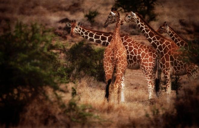 Reticulated giraffes, 20-0014PP